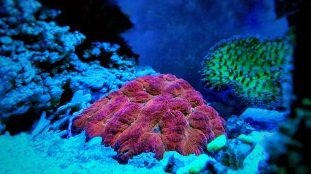 bunte offene gehirn lps-korallen im salzwasser-aquarium - coral and mauve stock-fotos und bilder