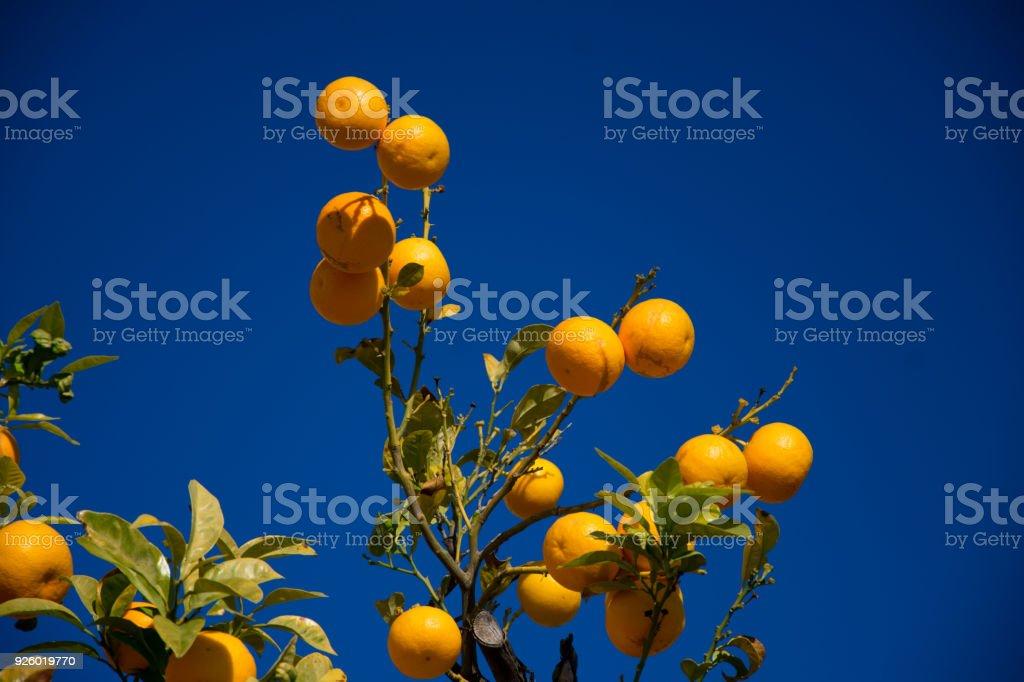 Colorful Orange tree in Arcos de la Frontera stock photo