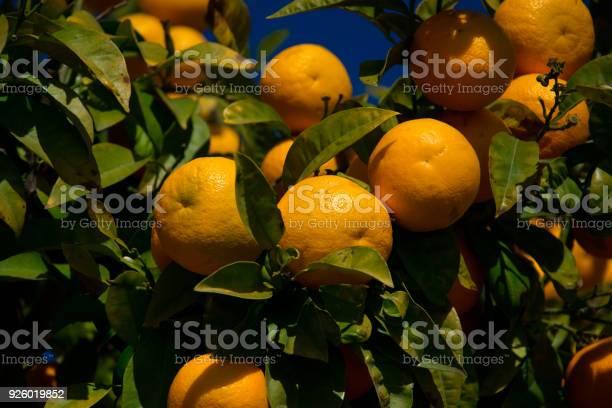 Colorful orange tree in arcos de la frontera picture id926019852?b=1&k=6&m=926019852&s=612x612&h=bovdvvyoaek8qydcxerjhse2hrwvwayngebbsp79kwq=