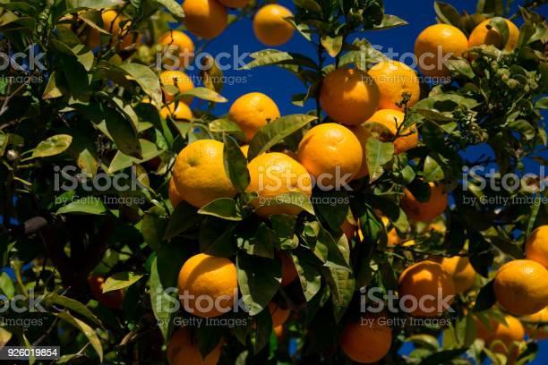 Colorful orange tree in arcos de la frontera picture id926019854?b=1&k=6&m=926019854&s=612x612&h=yfv6szzhyna5hdv83nqzqihfbjilyyrlvudr1chyw20=