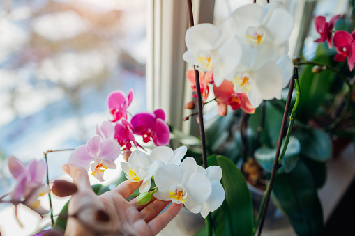 Colorful orchids phalaenopsis. Woman taking care of home plants . Gardener holding white flowers growing on window sill