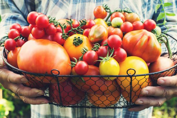 Bunte Bio-Tomaten in Händen der Bauern. Frische Bio rot gelb Orange und grüne Tomaten in Korb. – Foto