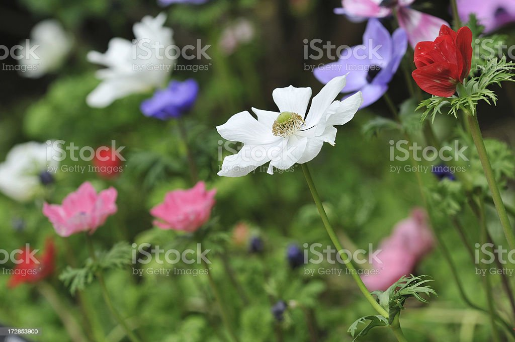 Colorful Oriental Poppies royalty-free stock photo