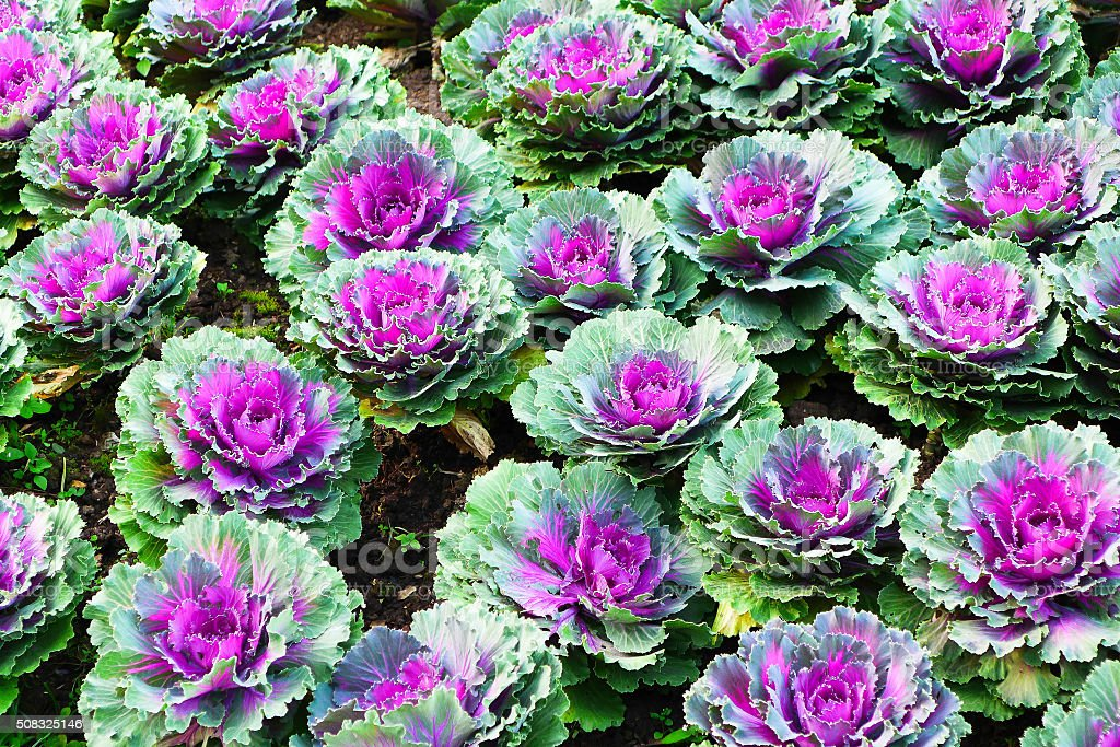 Colorful Ornamental Cabbages stock photo