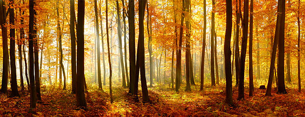 Colorful Panorama of Autumn Beech Tree Forest Illuminated by Sunlight Deciduous Forest of Beech Trees with Leafs Changing Colour Illuminated by Sunbeams through Fog at Sunrise in Autumn, Carpet of fallen leafs covering the ground beech tree stock pictures, royalty-free photos & images