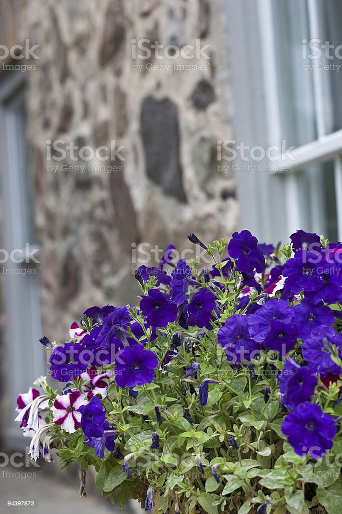 Colorful pansies in front of old wall royalty-free stock photo