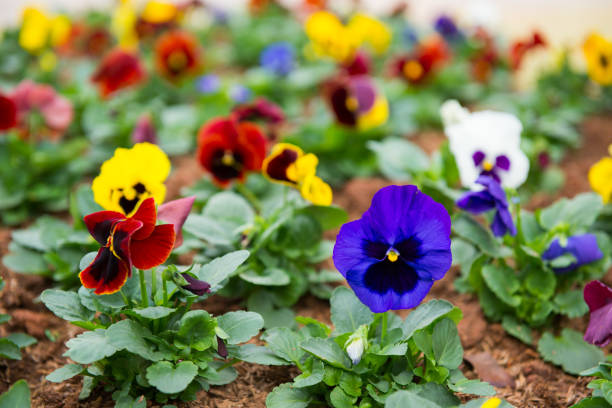 Colorful Pansy flower blooming in garden Colorful Pansy flower blooming in garden pansy stock pictures, royalty-free photos & images