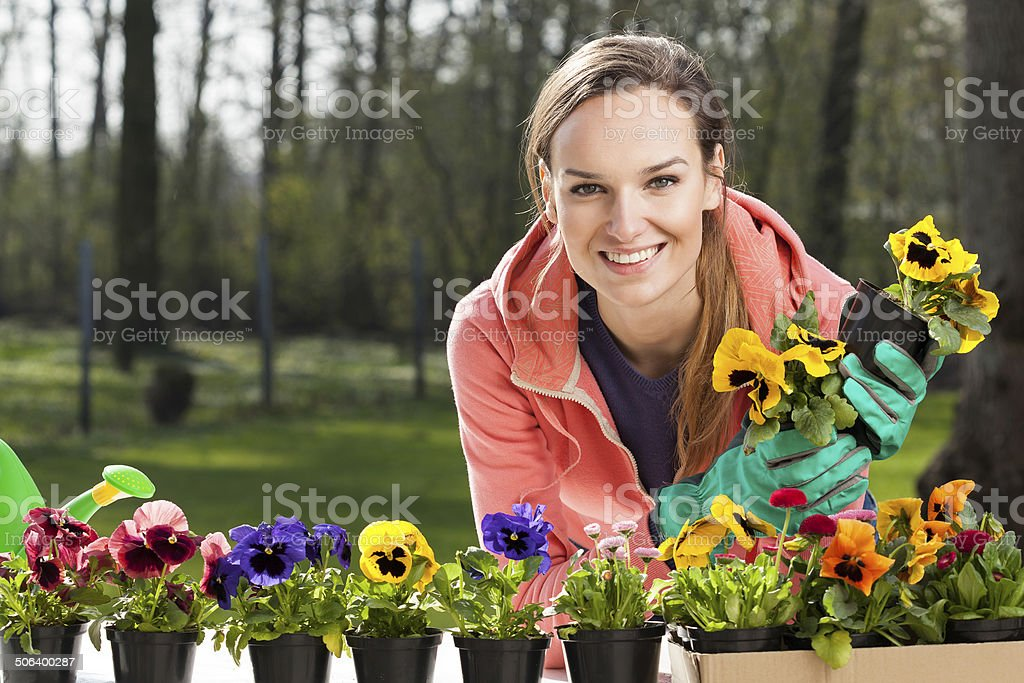 Colorful pansy flowers in pots stock photo