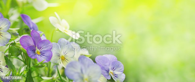 close up of colorful pansy flowers on green background in a garden