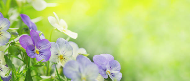 colorful pansy flowers on green background in a garden stock photo