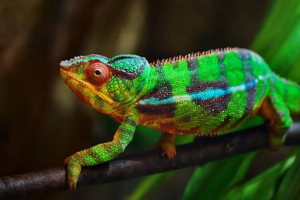 colorful panther chameleon - kameleon zdjęcia i obrazy z banku zdjęć