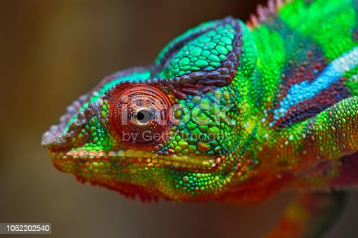 close-up of a panther chameleon