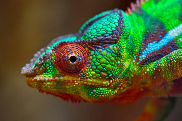 colorful panther chameleon stock photo