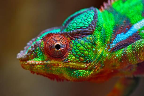 färgglada panther kameleont - makrofotografi bildbanksfoton och bilder