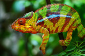 close-up of a panther chameleon on a tree