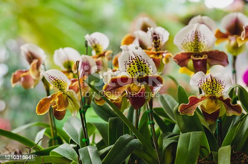 Colorful Paphiopedilum slipper or Lady slipper orchid blooming in the garden.
