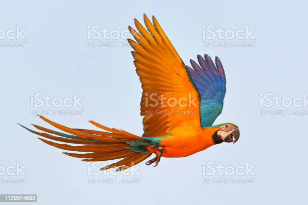 Colorful parrot flying picture id1129374593?b=1&k=6&m=1129374593&s=612x612&h= xsvo3rp5dvv kpkxolpy23nygemcwp3aexsrhs 1ti=