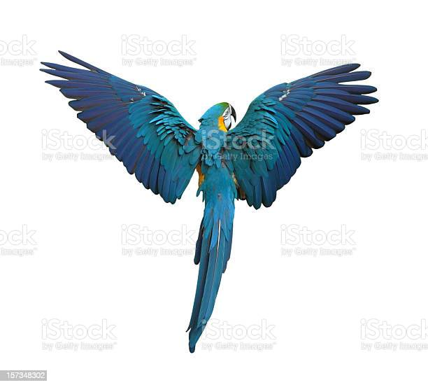 Colorful parrot flying with wings spread isolated on white picture id157348302?b=1&k=6&m=157348302&s=612x612&h= bhlay dsf9tjye6yhzl50gyohdw5cxx9tfjoldlb5y=