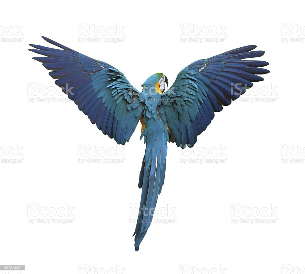 Colorful parrot flying with wings spread isolated on white stock photo