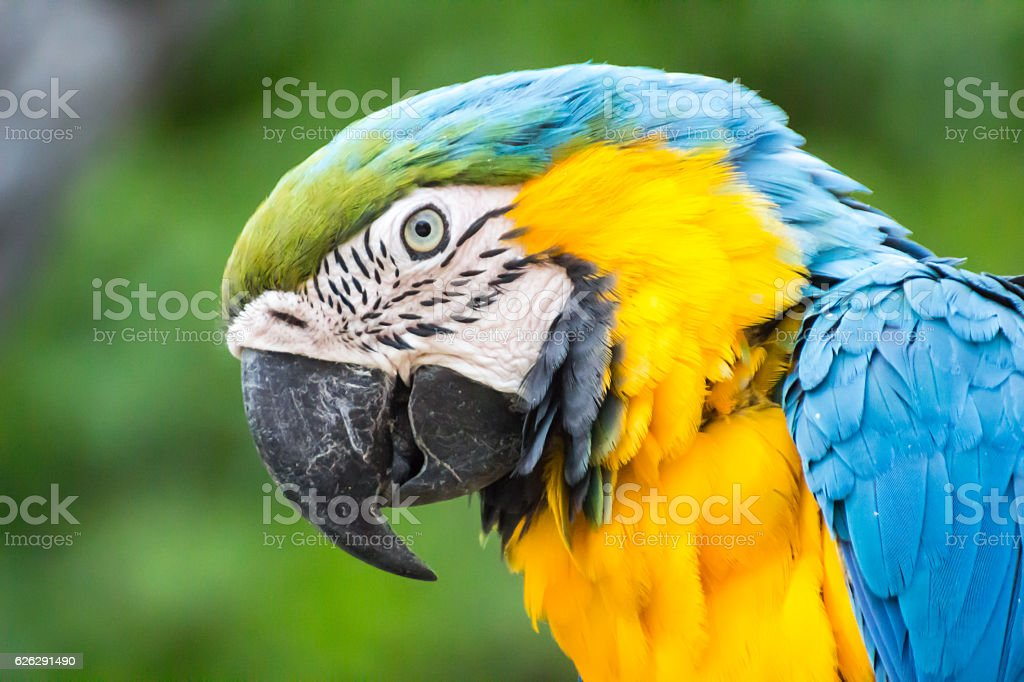 colorful parrot head close up  / Macaw Parrot isolated background. stock photo