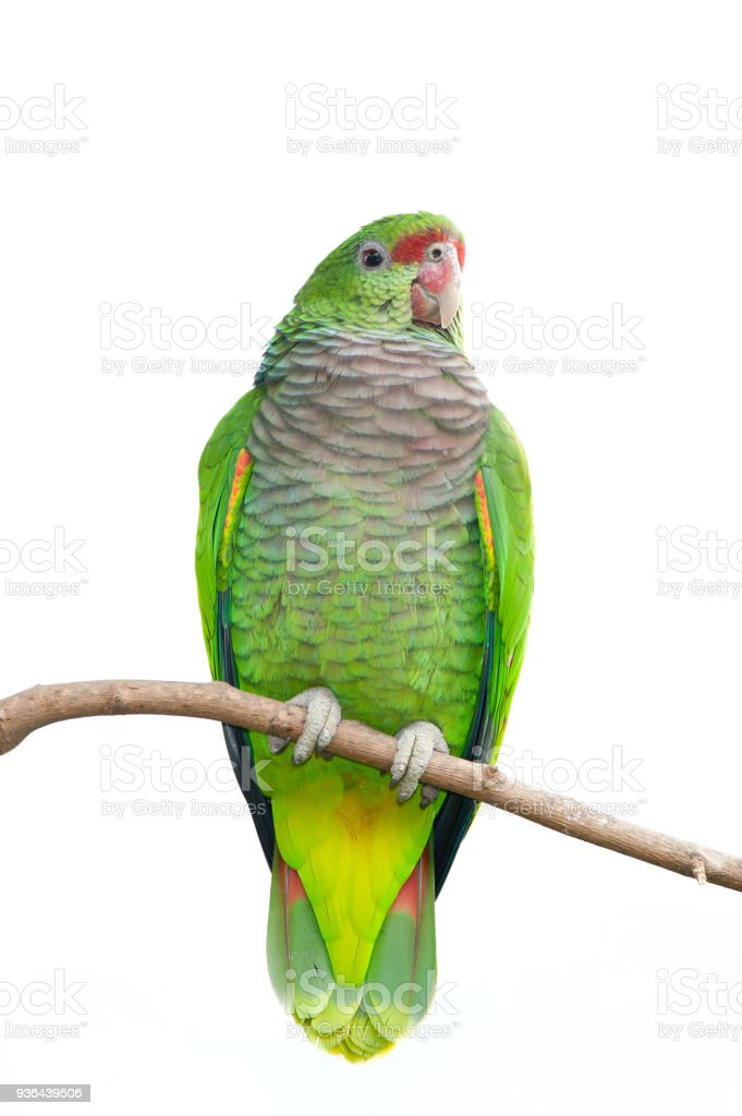 Colorful Parrot Isolated on white stock photo