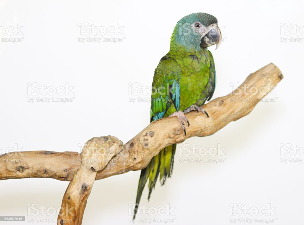 Colorful parrot landed on branch, isolated on white, Blue-headed macaw royalty-free stock photo
