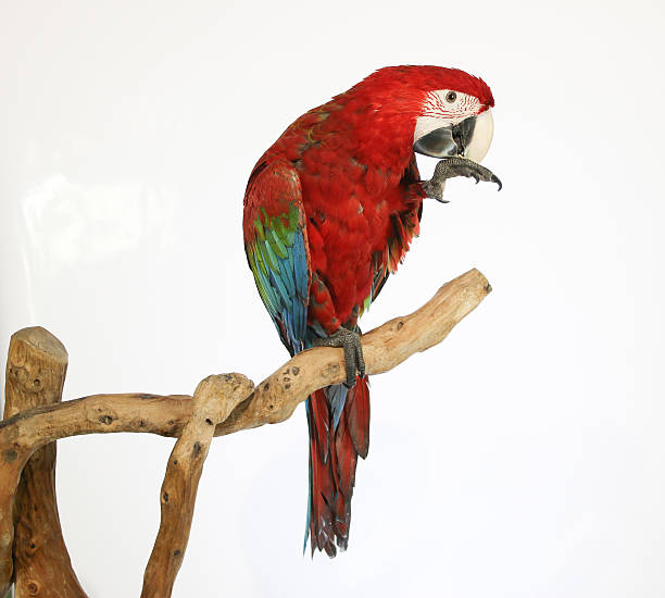 Colorful parrot landed on branch, isolated on white, Red-and-green macaw - foto de acervo