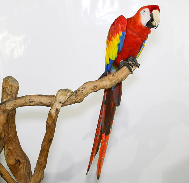 Colorful parrot landed on branch, isolated on white, Scarlet macaw - foto de acervo