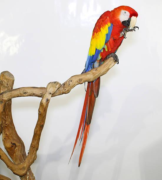 colorful parrot landed on branch, isolated on white, scarlet macaw - arara vermelha retrato - fotografias e filmes do acervo