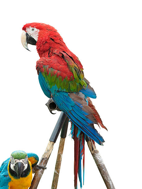 colorful parrot macaw isolated on white background - green winged macaw stock photos and pictures