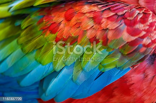 Colorful Parrot macaw wing - tropical bird plumage natural pattern – Pantanal wetlands, Brazil