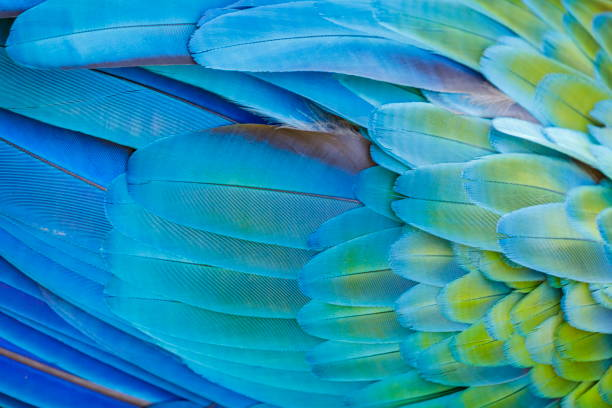 colorful parrot macaw wing - tropical bird plumage pattern – pantanal, brazil - green winged macaw stock photos and pictures