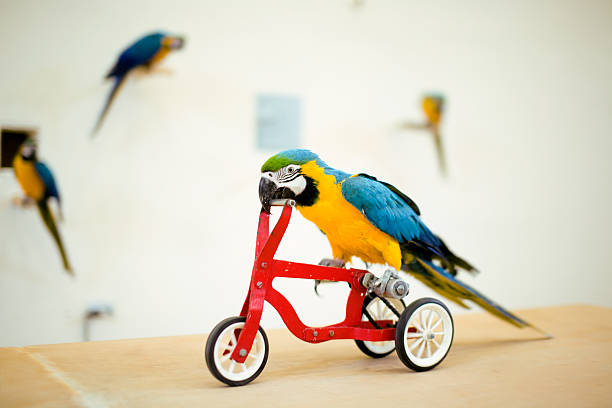 Colorful parrot riding on red bicycle Colorful parrot riding on red bicycle close up animal tricks stock pictures, royalty-free photos & images