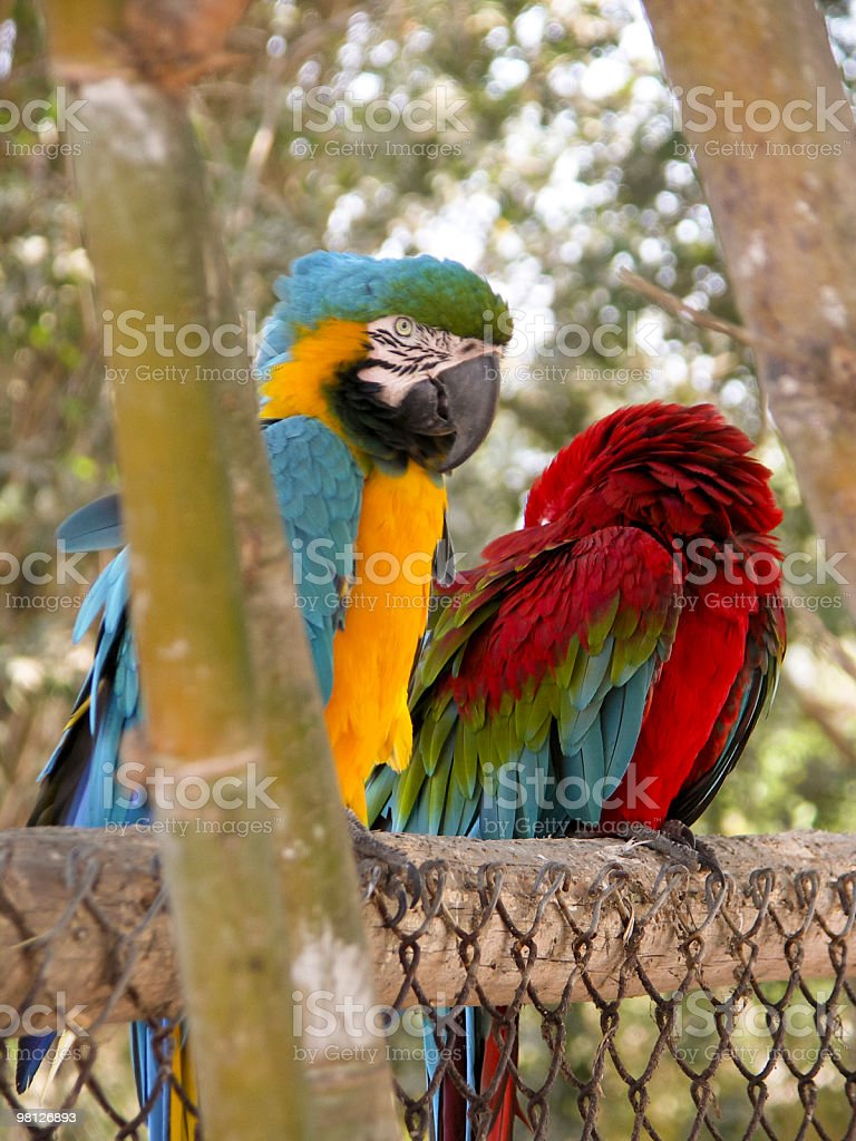 Colorful Parrots royalty-free stock photo