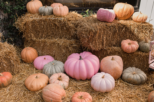Colorful Pastel Pink, Green & Orange Pumpkin Gourds in Hay at a Pumpkin Patch in Palm Beach, Florida.