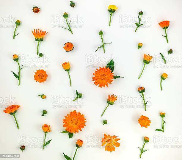 Colorful pattern of calendula flowers on white background flat lay picture id590047898?b=1&k=6&m=590047898&s=612x612&h=af64q hx1scisqvvgwxibr9ppqhccc2g fhxa1okysq=