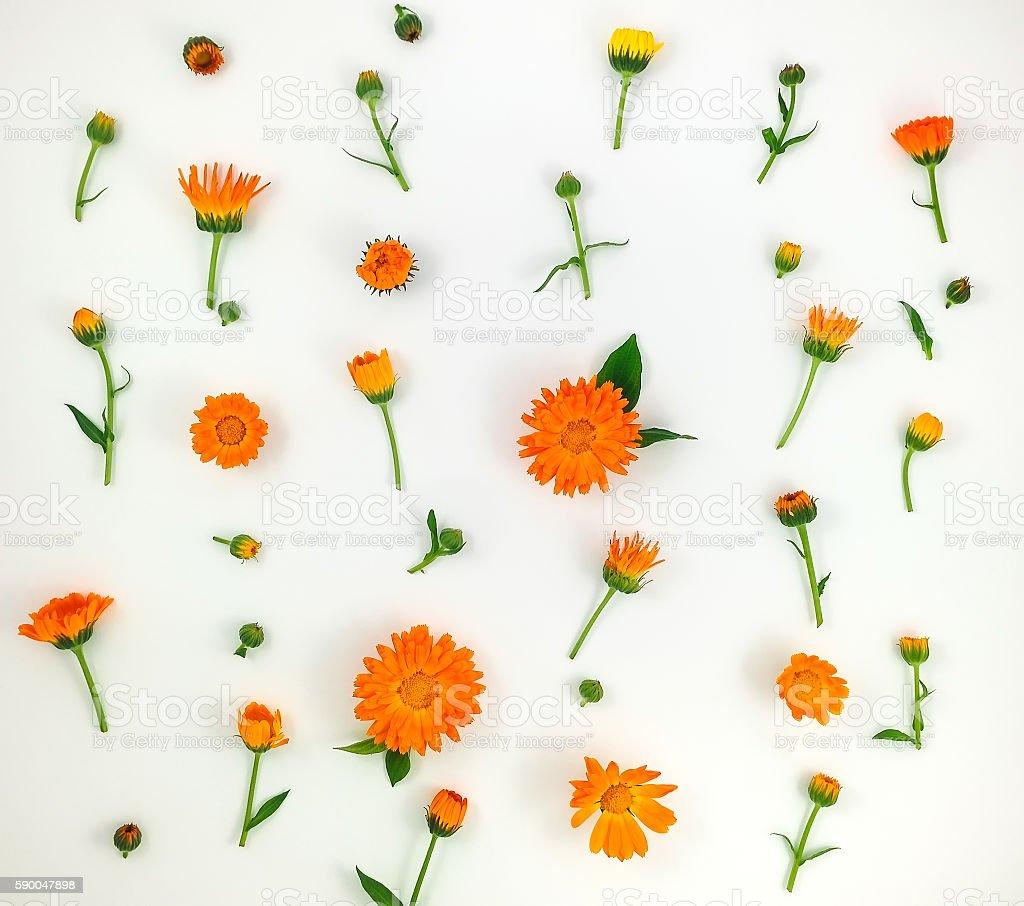 Colorful pattern of calendula flowers on white background. Flat lay stock photo