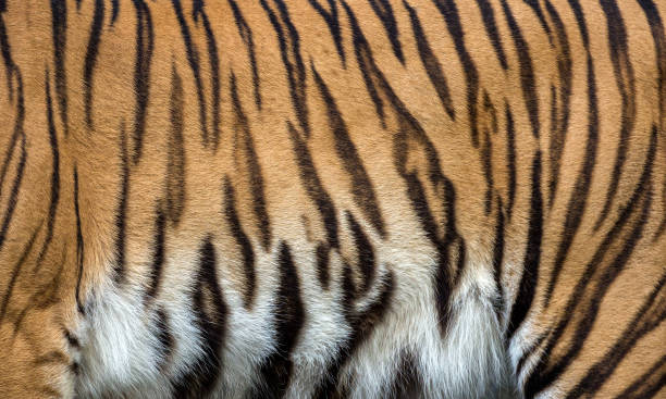 Top 60 Real Tiger Fur Texture Striped Pattern Background ... - photo#11