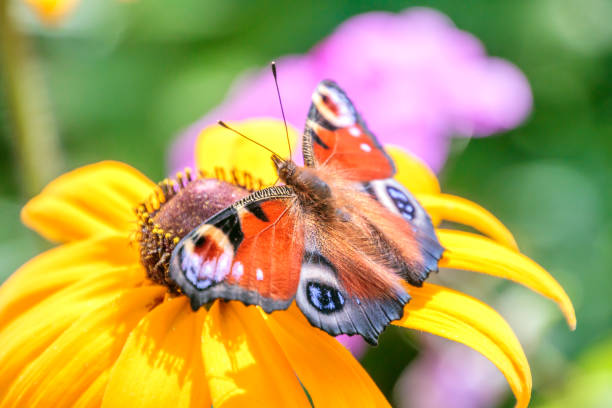 Colorful Peacock Butterfly on Yellow Flower stock photo