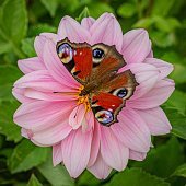 Butterfly sitting on a pink dahlia flower growing in a garden on a summer day. Green leaves in the background.