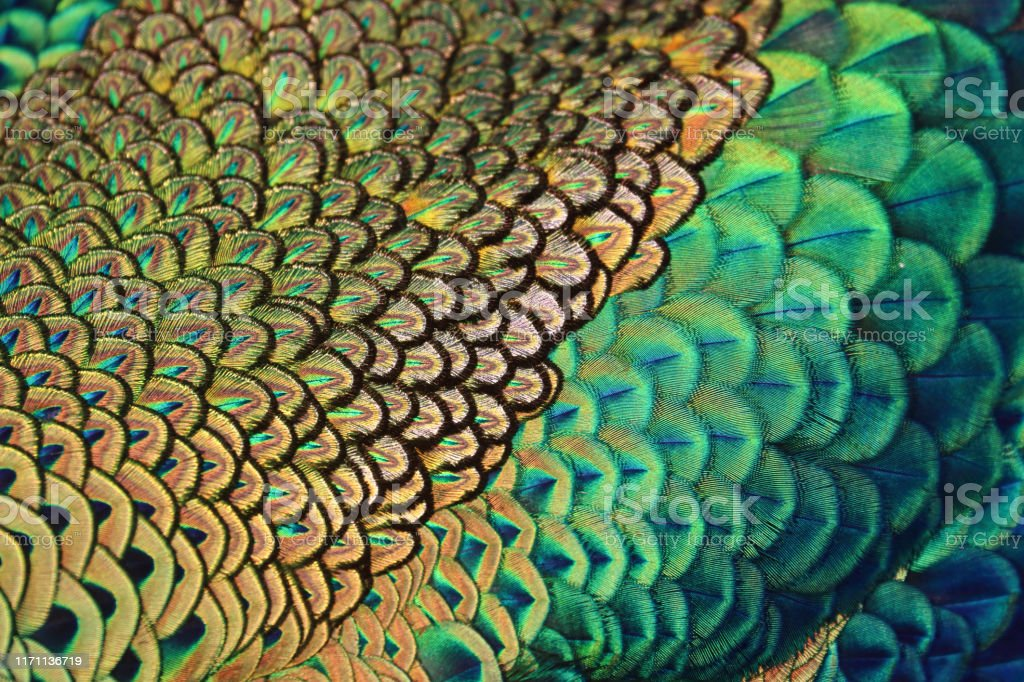 Colorful peacock feather - Royalty-free Abstract Stock Photo