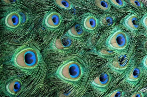 Colorful Peacock Feathers Texture Pattern Peacock feathers plumage textured closeup peacock feather stock pictures, royalty-free photos & images