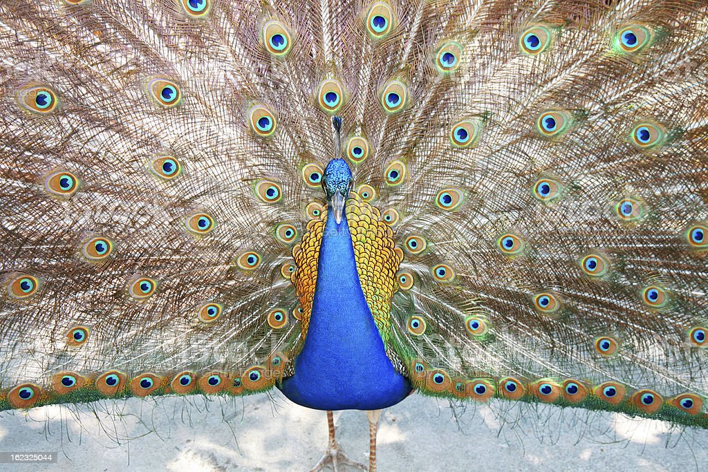 Colorful Peacock royalty-free stock photo