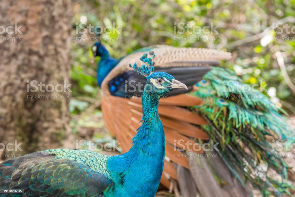 Colorful peacocks outdoors. stock photo