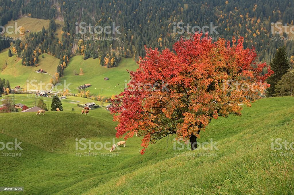 Colorful pear tree in autumn stock photo
