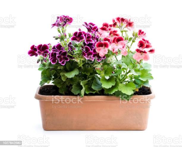Colorful pelargonium flowers in rectangular flowerpot isolated on picture id1027842580?b=1&k=6&m=1027842580&s=612x612&h=ekblbzr2yh3wd8bi8jchhovzrhtjngufnh wtkpt ky=