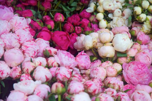peônias coloridas - foto de acervo