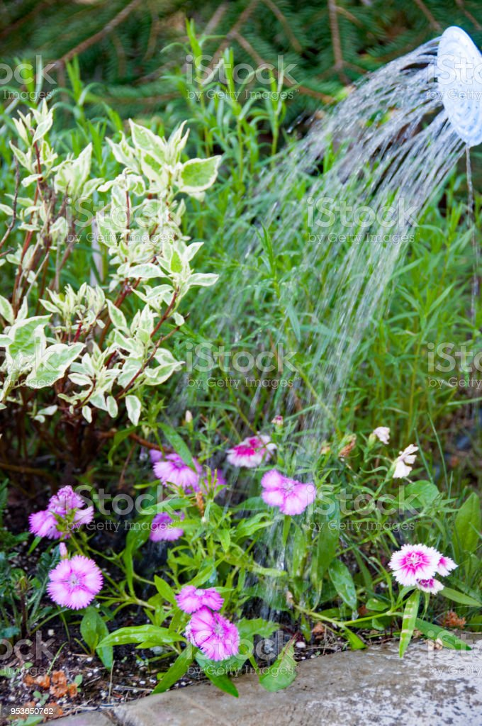 Colorful Petunia flowers being watered by a watering can stock photo