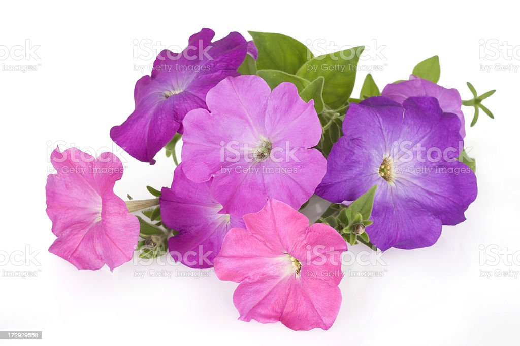 Colorful petunia flowers stock photo