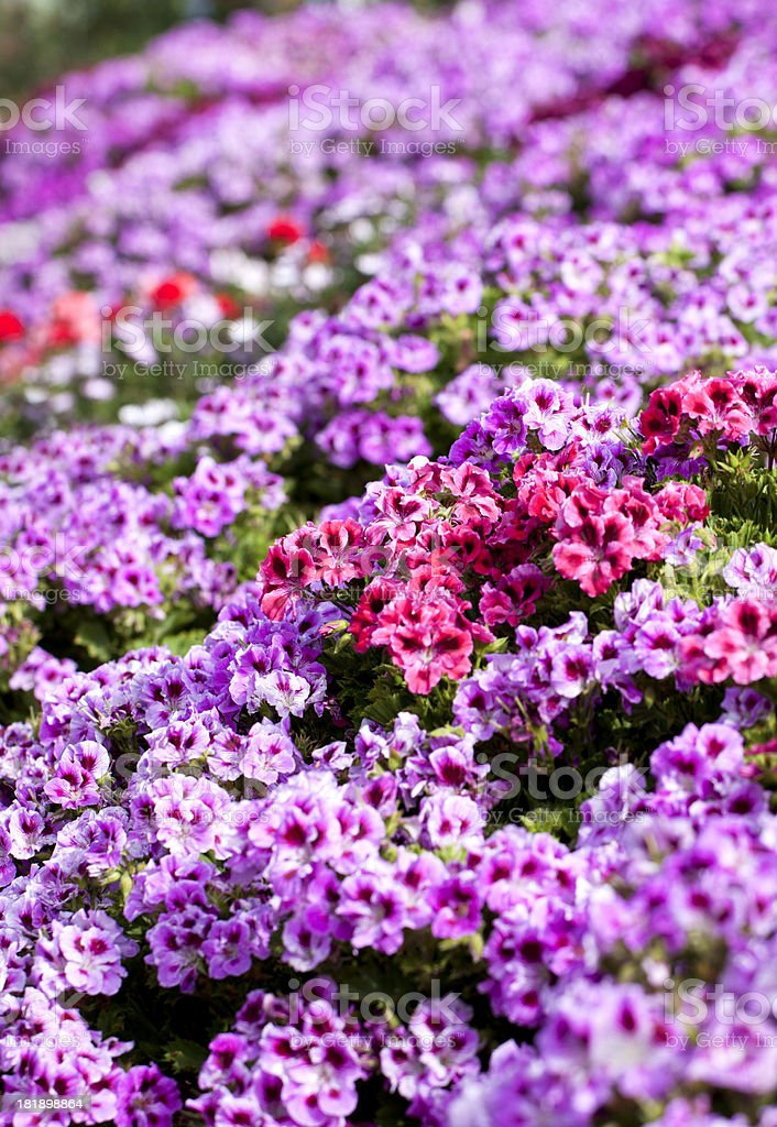 Colorful Petunia Flowers royalty-free stock photo